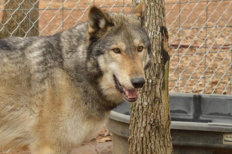 Texas Wolfdog Project | Owning a Wolfdog