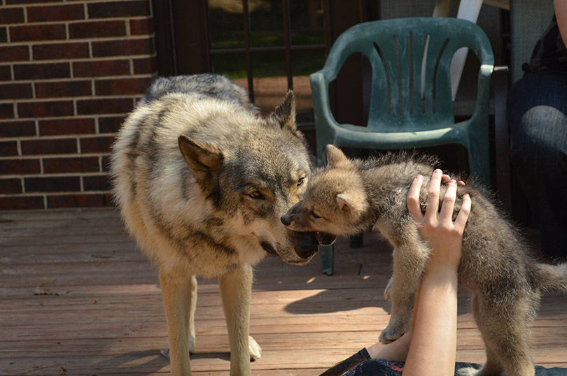 Texas Wolfdog Project