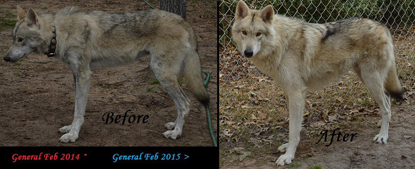 Texas Wolfdog Project | Owning a Wolfdog