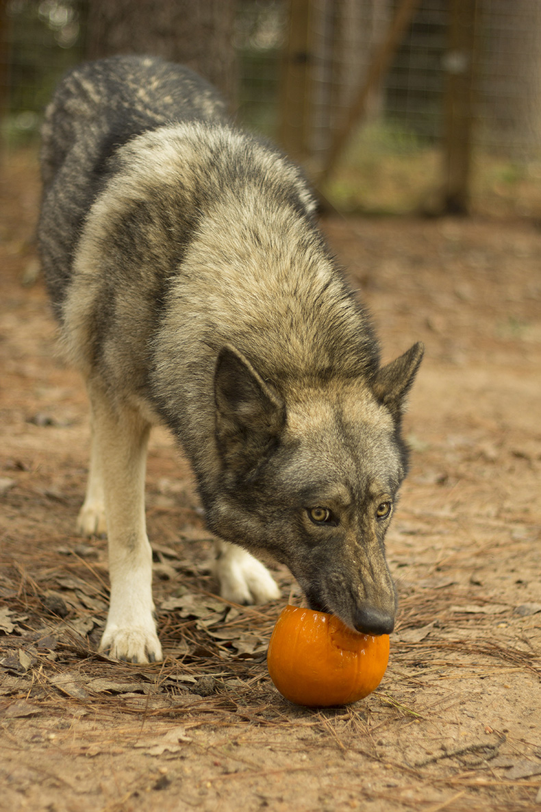 Texas Wolfdog takes out a pumpkin