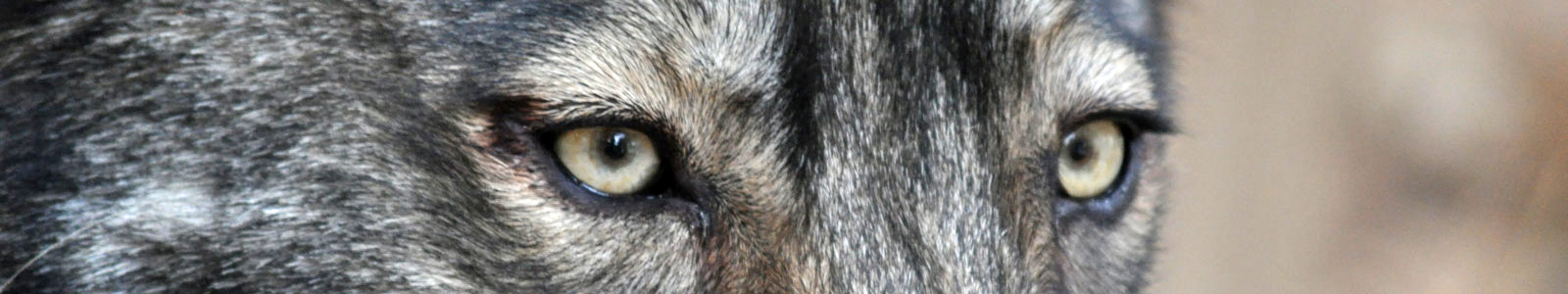 Texas Wolfdog Project History Header Image