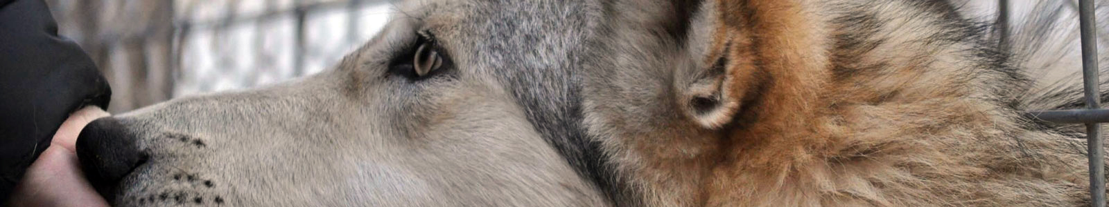 Texas Wolfdog Project Head, Muzzle, Nose Header Image
