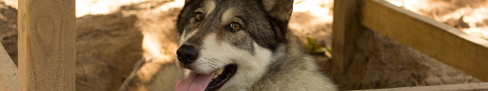 Texas Wolfdog Project Events + News Header Image