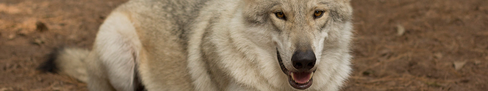 Texas Wolfdog Project Face masking, Coloration, and general appearance Header Image