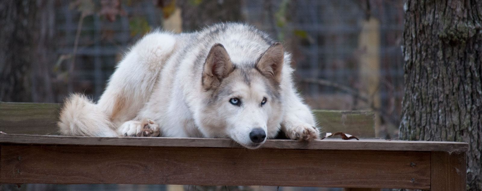 Texas Wolfdog Project | Home