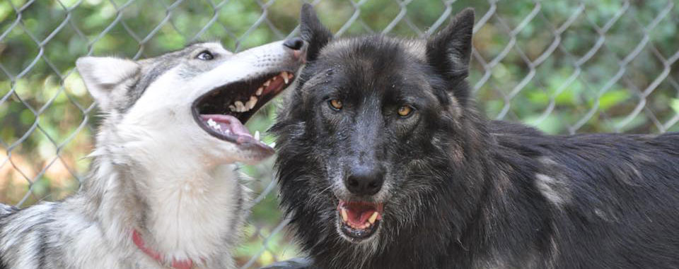 Texas Wolfdog Project Home