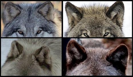 Texas Wolfdog Project Ears