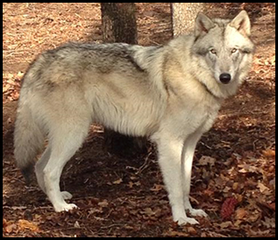 Texas Wolfdog Project Mid Content Wolfdogs