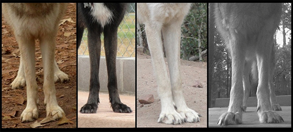 Texas Wolfdog Project Chest And Forelegs
