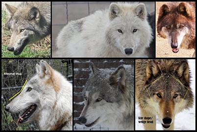 Texas Wolfdog Project Head Muzzle Nose