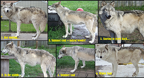 wolf country the pack body postures and social structure - 498×270